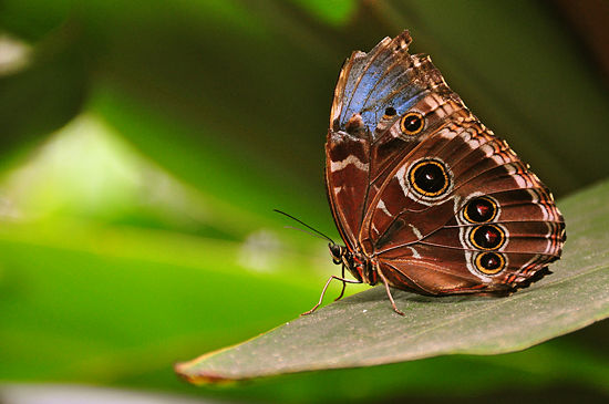 550px-Morpho-peleides-wings-closed-(blue-morpho-butterfly)