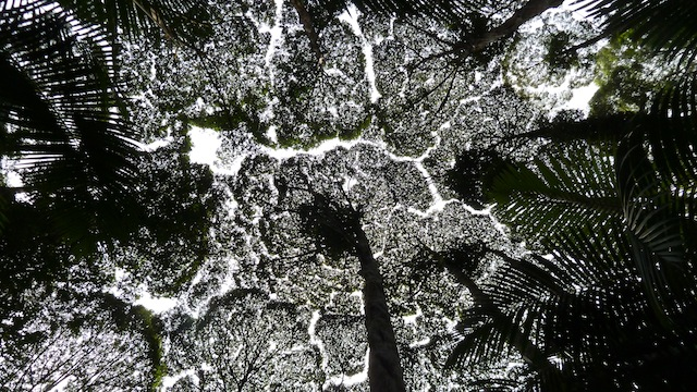 The Crown Shyness Canopy Formation of the Pokok Kapur