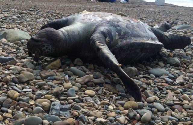 A dead sea turtle on the shores of Costa Rica (Reported in Costa Rica Star Nov 9 2013)