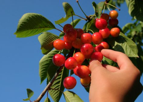 pentecost-first-fruits_472_337_80
