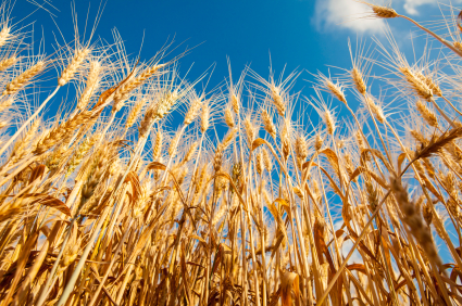 Wheat Crop.