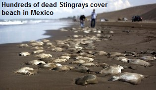 dead-stingrays