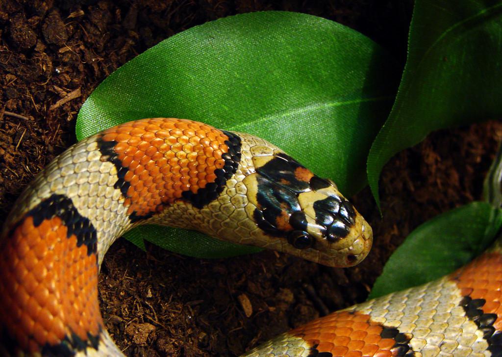 Serpent-Roi_Mexicain_Ile_aux_Serpents_17_11_08_3