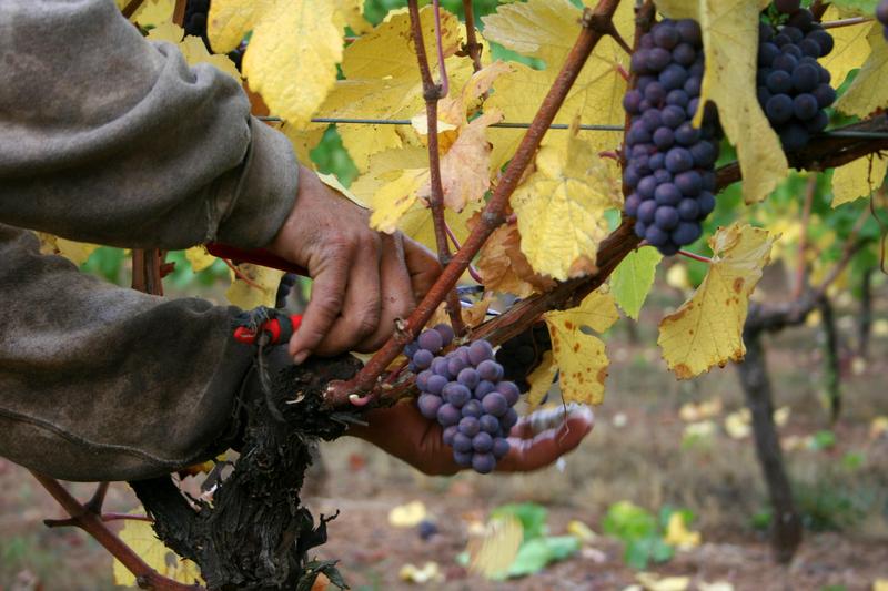 Ref : vinebud