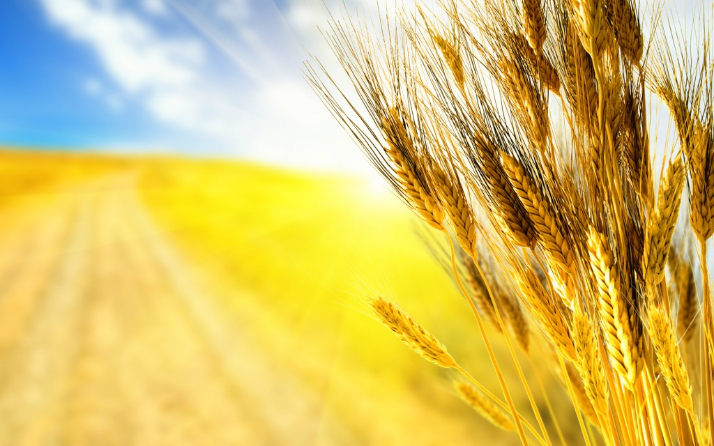 close-up-autumn-autumn-wallpaper-grass-wheat-harvest-ear-ears-ears-of-corn-the-harvest