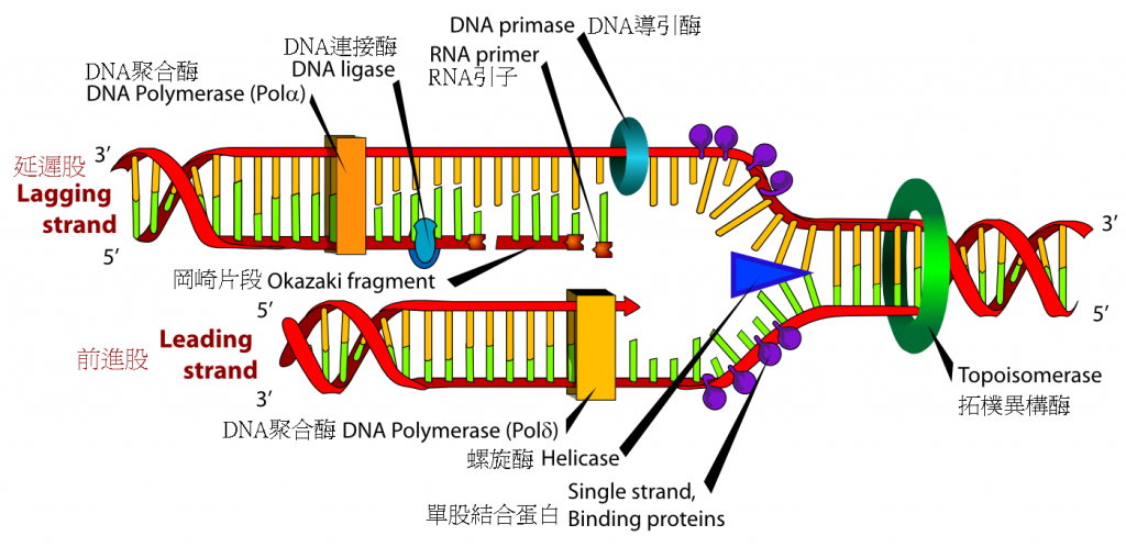 DNA_replication_zh