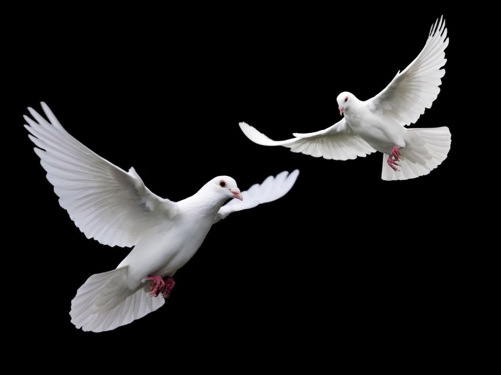 Animals_Birds_White_doves_012881_ (1)