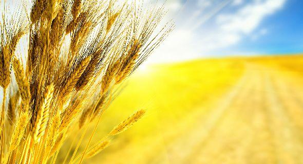 wheat-harvest-field-wallpapers-t