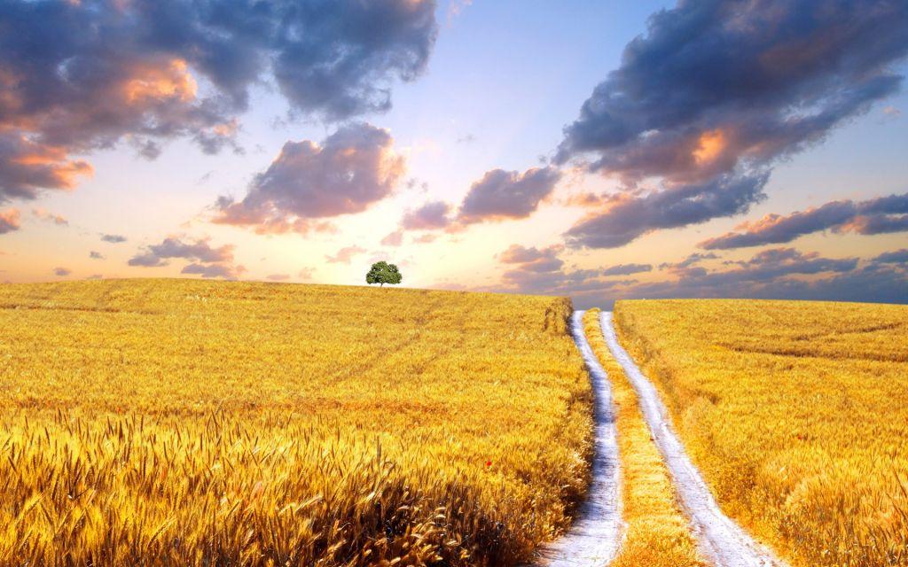 harvest-wheat-field-2