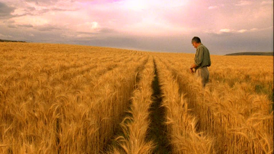 962429729-wheat-cultivation-wheat-field-farmer-controlling