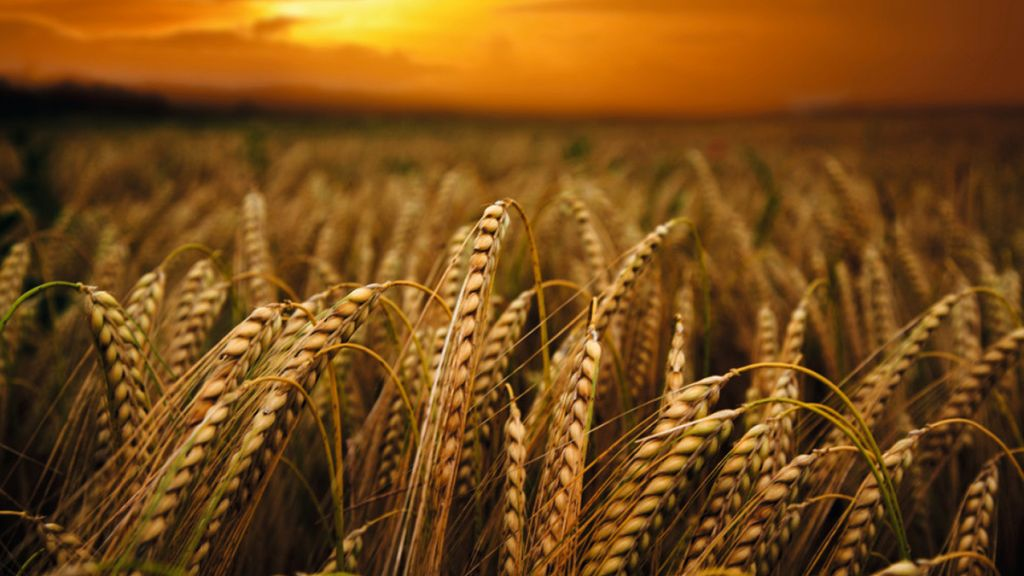 wheat-field_tcm11-23220