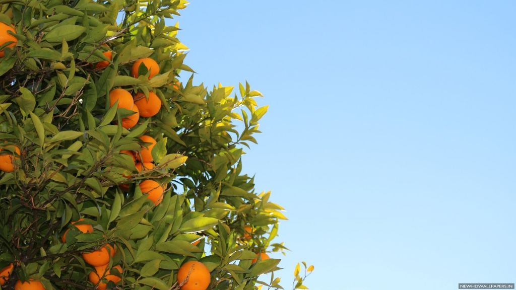 orange-tree-wallpapers-14
